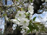 Okanagan Cherry Blossoms 3