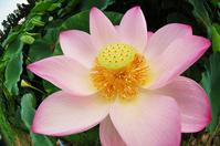 Summer Lotus 7