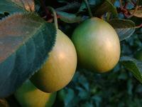 plum 2