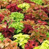 Technicolour plants