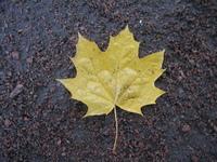 maple's leaf