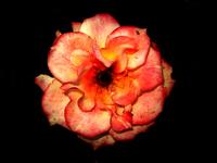 die rose 4