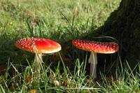 The Mushroom 1