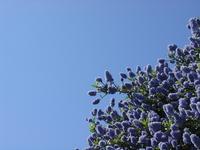 Blue Bush 2