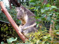 Koalas 2