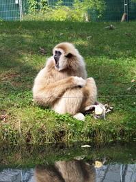 Whitehand Gibbon