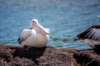 Australian Pelican 4