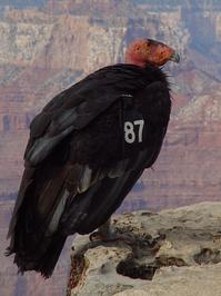 california condor 3