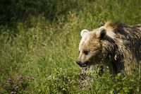 Curiously bear