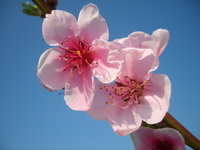 Peach In Blossom 3