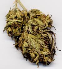 Cannabis biodynamic