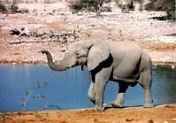 pointing elephant