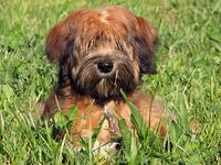 Tibetan Terrier Puppy 2