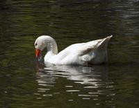 Duck 7