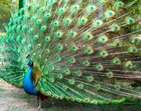 peafowl 2