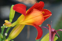 Orange Flower Opening Up