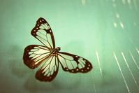 GlasswingButterfly
