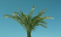 Solitary Palm Tree