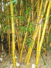stripy bamboo