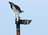 Osprey_whoops