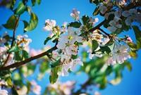Tree flowers 2