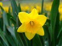 spring Daffs 3