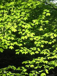 Light Leaves