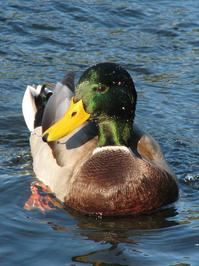 wild duck 2