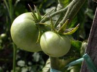 Tomates 03