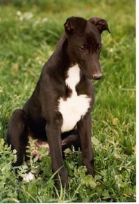 Greyhound pup 2