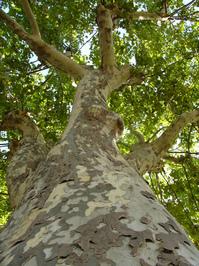 camo-tree