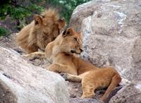 lazy lions 3