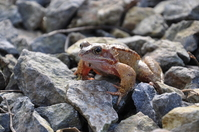 Irish Toad