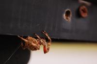 Orb Weaver Spider 3