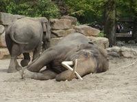 Resting Elephant 2