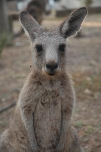Kangaroo 6