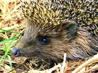 wild hedgehog
