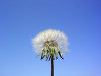 dandelions old 1