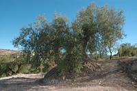 Olive centenary
