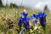 Blue mountain flower