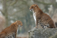 2 panthers