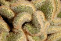 Fuzzy Cactus