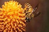 Wild Honey Bee(s) 4
