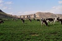 Cow Landscape