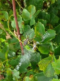 Yellow wine spider