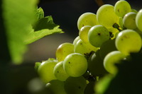grapes 8