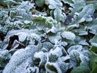 hoar-frost in a plant