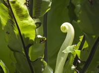 New Fern Leaf2