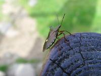 Tree Beetle