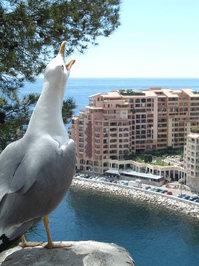 A gull in Monaco 1